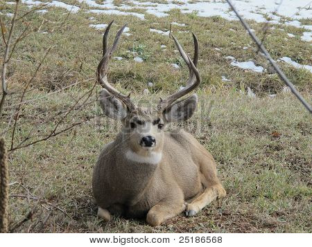 Huge Buck Deer
