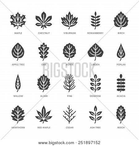 Autumn Leaves Flat Glyph Icons. Leaf Types, Rowan, Birch Tree, Maple, Chestnut, Oak, Cedar Pine, Lin