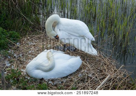 Photo Of A Pair Of Mute Swans On The Nest With One Standing And One Resting