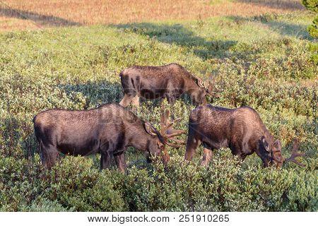 Wild Shiras Moose In The Rocky Mountains Of Colorado. Group Of Bull Moose