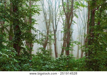 Dense Fog In The Forest. Mysterious Atmosphere In The Woods. Through The Fog, Trees Are Viewed