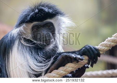 Portrait Of Mantled Guereza (colobus Guereza) With Sad Or Pensive Expression. Black Face Is Framed W