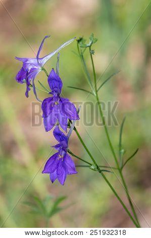 Three Dark Blue Or Purple Flowers Of Forking Larkspur With Green Background. Rocket-larkspur (consol