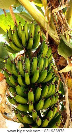 Cacho De Bananas Pendurado Em Uma Bananeira