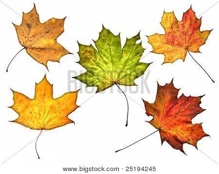 Jesień liść na białym tle