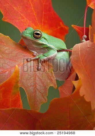 Green Tree Frog In Fall