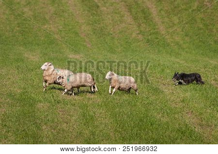 Stock Dog Runs Sheep (ovis Aries) Right On Course - At Sheep Dog Herding Trials