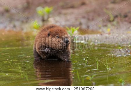 North American Beaver (castor Canadensis) Kit Water Drips Off Face - Captive Animal
