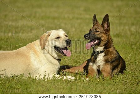 Sunstroke, Health Of Pets In The Summer. Labrador. Dogs Play With Each Other. How To Protect Your Do