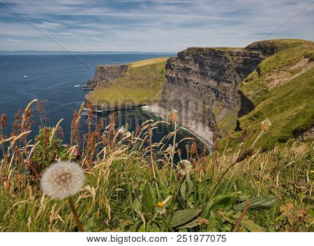 Various Grasses And A Dandelion In The Foreground With A Cliff From The Cliffs Of Moher In The Backg