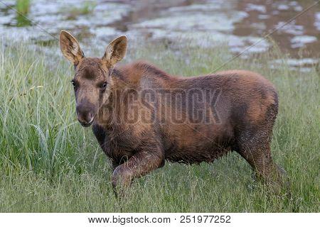 The Shiras Moose In Colorado Is The Smallest Of The Moose Species In North America. Moose Calf.