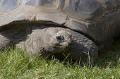 Shot of the giant tortoise - detail of the head poster