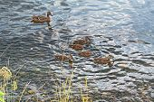 A wild duck with a brood of ducklings floating near the lake shore poster