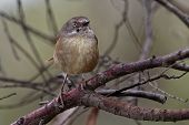 Tasmanian Scrubwren - Sericornis humilis bird species endemic to the temperate forests of Tasmania and nearby King Island. poster