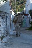 The donkey is the favored mode of transport for the locals of Ioulis on the Greek island of Kea. A capital town where cars are banned the donkey is the only way to navigate the narrow steep streets. poster