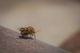 Little Insect, Brown Beetle, Wants To Fly Away, In Greece.