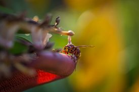 Dangerous Hornet Climbs Into A Banana Tree In Greece. Dangerous Hornet Climbs Into A Banana Tree In