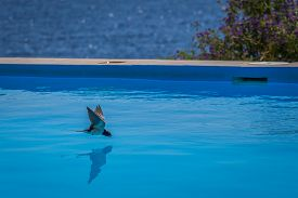Swallow Drinks Water, While Flying, From A Swimming Pool With A View Of The Sea
