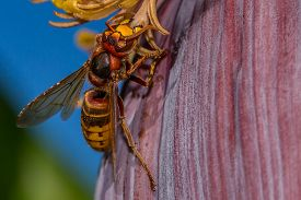 Dangerous Hornet Is Eating From A Banana Tree