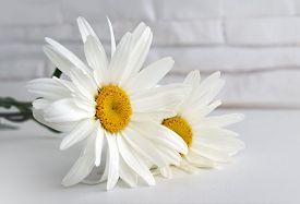 Beautiful Flower Camomile