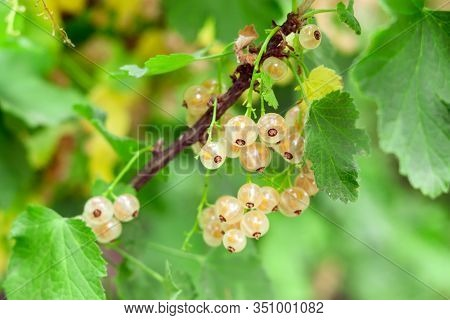 Brush Of White Currant Berries And Green Leaves. White Currant Ribes Rubrum White Grape Close Up. Ma