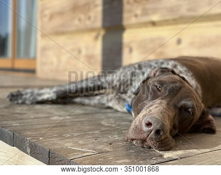Young Sleeping Dog - German Shorthaired Pointer