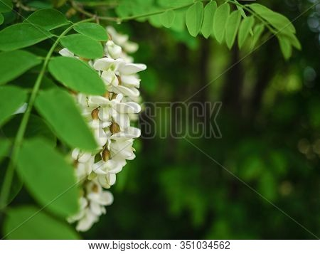 White Acacia Flowers On A Green Tree With A Copy Space. Flowering Acacia Tree