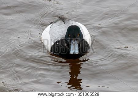 Greater Scaup Aythya Marila Male Swimming On River Water In Winter. Cute Rare Migrant Diving Duck In