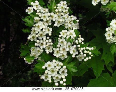 Detail Of Hawthorn Bush, Crataegus Monogyna, Ohter Common Names Oneseed Hawthorn, Or Single-seeded H