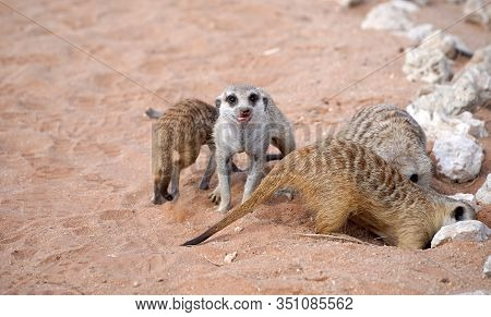 Cute Meerkats In South African Park In Kalahari Desert