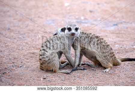 Cute Meerkat In South African Park In Kalahari Desert