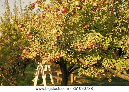 Apple Tree On Sunny Day. Fruit Tree Garden. Ripe Apples Grow On Tree. Fruit Tree Production. Apple G
