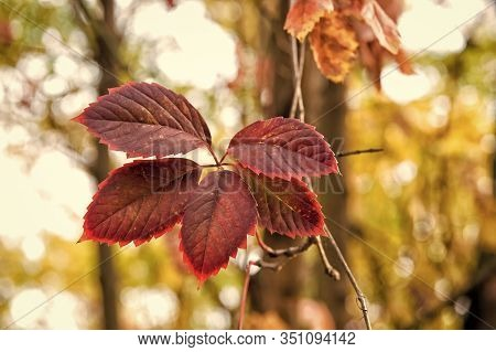 Brightly Colored Autumn Foliage. Fall Foliage On Natural Background. Red Pigment Foliage On Autumn L