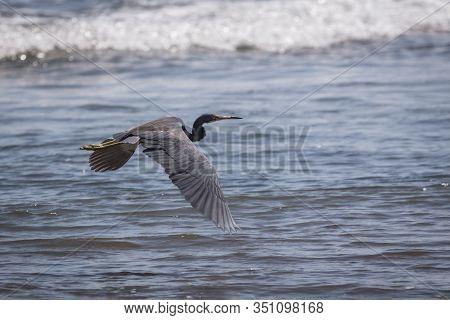 Birds Of Costa Rica Great Blue Heron Juvenile (ardea Herodias) In Flight Over The Sea. Tambor Beach.