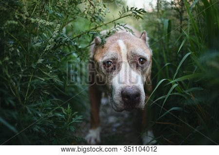 American Staffordshire Terrier Sitting On Ground Surrounded By Plants