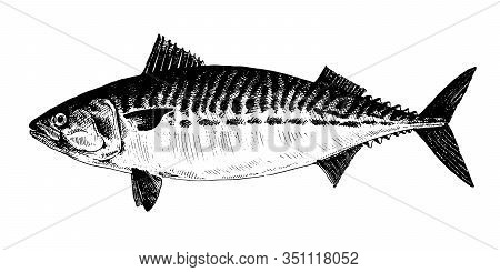 Mackerel, Fish Collection. Healthy Lifestyle, Delicious Food. Hand-drawn Images, Black And White Gra