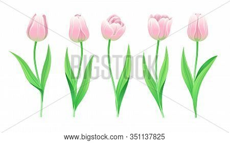 Collection Of Vector Pink Tulips With Stem And Green Leaves. Set Of Different Spring Flowers. Isolat