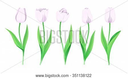 Collection Of Vector White Tulips With Stem And Green Leaves. Set Of Different Spring Flowers. Isola