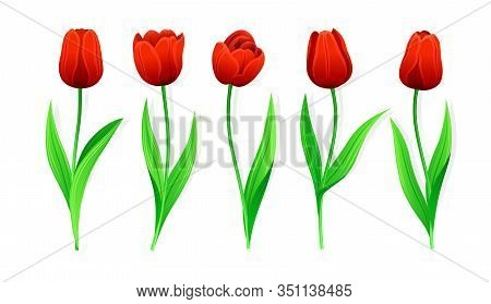 Collection Of Vector Red Tulips With Stem And Green Leaves. Set Of Different Spring Flowers. Isolate