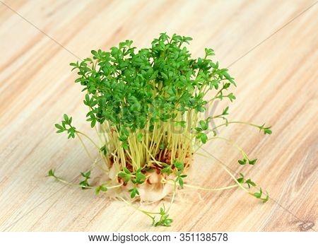 Garden Cress  Growing From Cotton Pad. Lepidum Sativum, Also Called Mustard And Cress, Garden Pepper