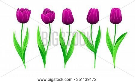 Collection Of Vector Purple Tulips With Stem And Green Leaves. Set Of Different Spring Flowers. Isol