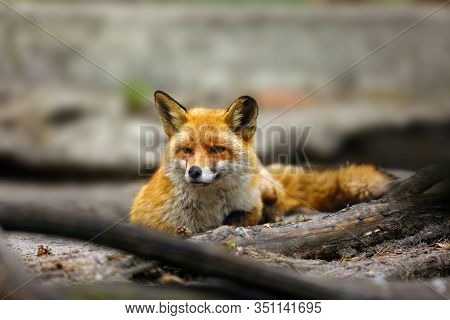 The Red Fox (vulpes Vulpes) Lying Near Their Burrows. Red Fox Lying On The Sand And In The Foregroun