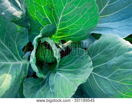 Green Leaves Of Vegetable In Garden. Leafy Green Vegetable. Top View Of Cabbage Growth In Farm. Orga