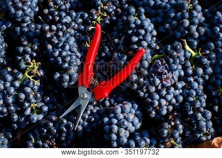 Grapes In Plastic Crate With Shears During Grape Harvest In South Italy, Puglia