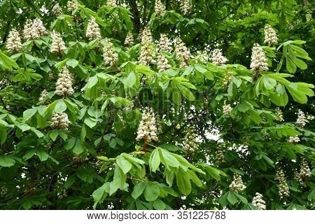 Natural Backdrop Of White Flowers Among Lush Foliage Of Chestnut Tree. Pyramid Shape Inflorescence O