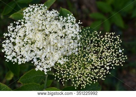 Elderberry Flowers Closeup. White Inflorescence Of Tiny Star Shape Flowers And Round Buds On Blurry