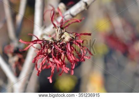 Witch Hazel Diane Red Flowers - Latin Name - Hamamelis * Intermedia Diane