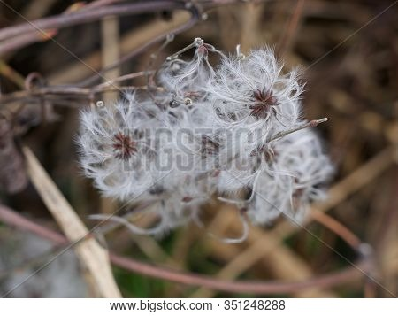 Feathery Seed Pods Waiting To Be Dispersed By The Wind