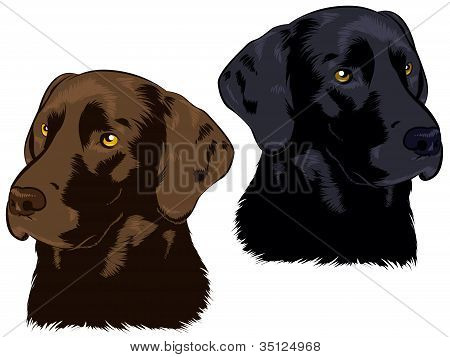 Chocolate and Black Labs