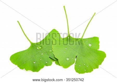 Wet Ginkgo Biloba Leaves Isolated On White